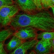 תאים פלורוסנטים